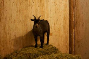Hoffman the goat enjoys his life at Creative Acres