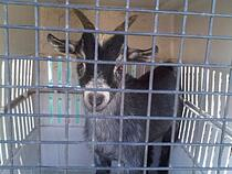 Hoffman the goat, our new friend & unofficial mascot